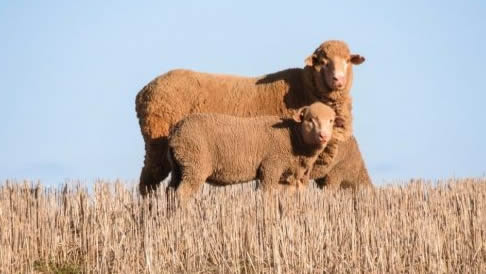 WA's sheep-wheat belt farmers are prepared to put wool away until prices improve.
